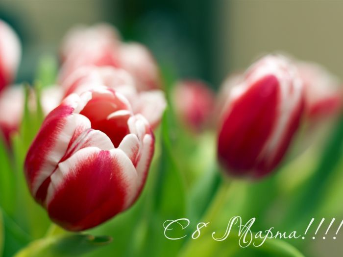 Holidays___International_Womens_Day_Spring_tulips_on_March_8_057352_1